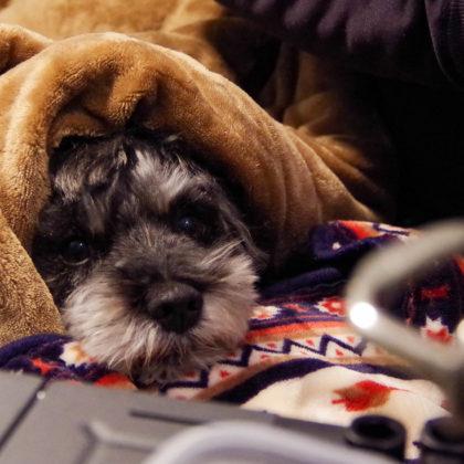 ぬくぬくしている犬、おとーさんの脚があご枕