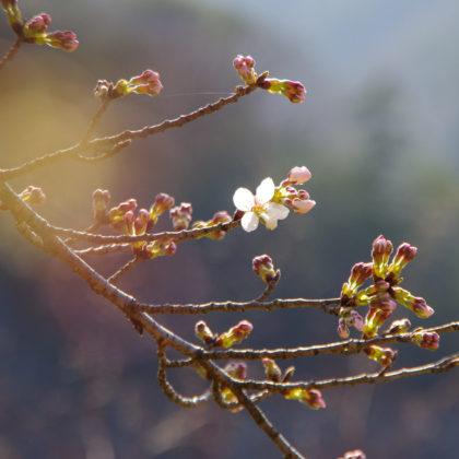 たまにカメラ持ち出して桜を撮ってみたり