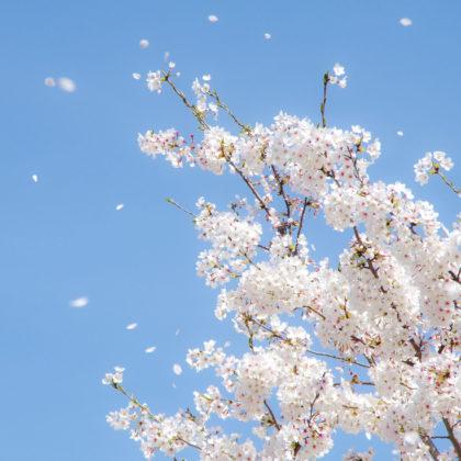 あまり綺麗に撮れなかったけど、一応桜吹雪