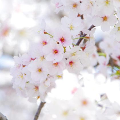 散る間際の桜はピンクが濃くなるそうです