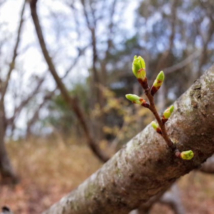 桜はまだまだこれからって感じ