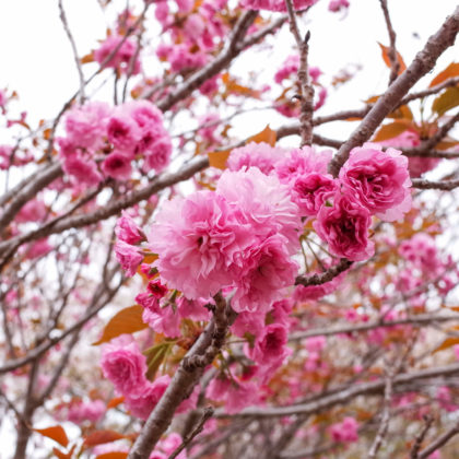 八重桜って華やかだなー