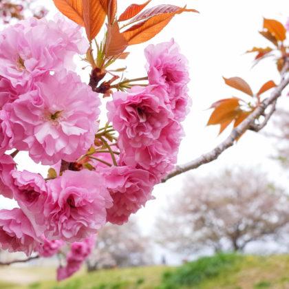 八重桜がモフモフ咲いてたし