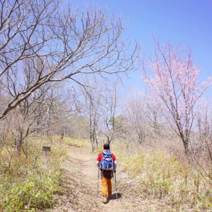 下界はすっかり葉桜だけど、星山の桜はまだ花が健在