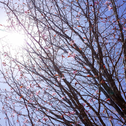 これも桜なのかなー