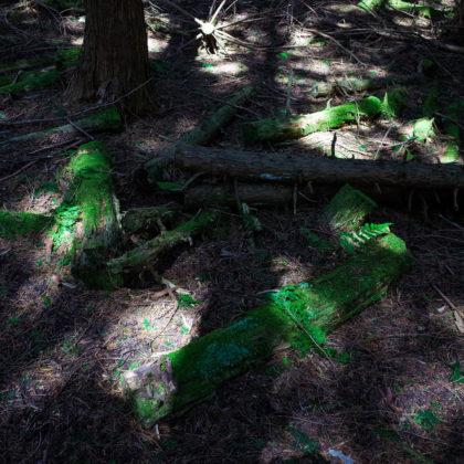 ヒノキの林はしっとりひんやり