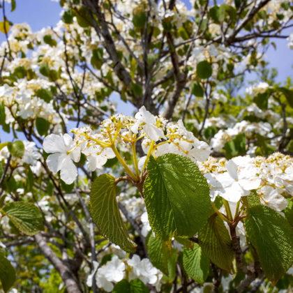 白い花が満開。